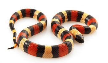 Milksnake stock photo